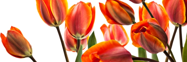 Tulips, Holland Happening